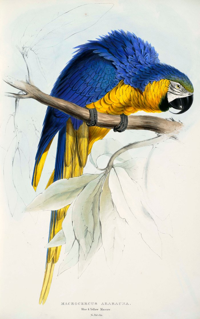 Ara_ararauna_-Macrocercus_ararauna_Blue_&_yellow_Maccaw_-by_Edward_Lear_1812-1888