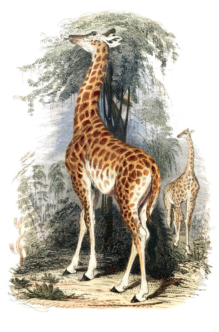 Giraffa_camelopardalis1
